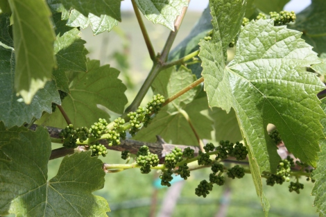 Tiny Grapes form during the months of April and May